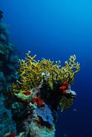 corail-de-feu_pierre-marin-razi-ffessm.jpg