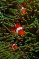 poissons-clowns-pierre-marin-razi-ffessm.jpg