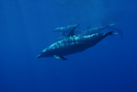 dauphins_pierre-marin-razi-ffessm.jpg