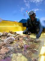 Bouturage coraux 2004 - La Réunion 1_j-p quod.jpg