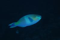 perroquet-pierre-marin-razi-ffessm.jpg