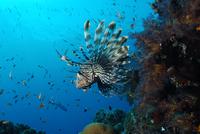 poisson-scorpion-pierre-marin-razi-ffessm.jpg