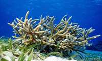 Corail corne de cerf - Antilles 1_franck mazeas.JPG