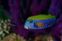 poisson-coffre-pierre-marin-razi-ffessm.jpg