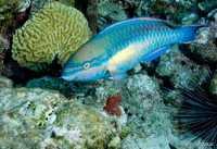 Poisson perroquet - Antilles 1_franck mazeas.JPG