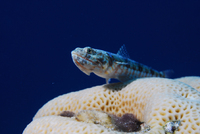 poisson-lezard-bigarreÌ-Pierre-Marin-Razi-FFESSM.JPG
