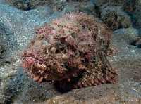 Poisson camouflage - Antilles 1_franck mazeas.JPG